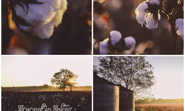 A cotton field outside of Boston, GA